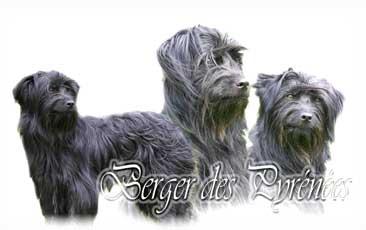 Berger des Pyrenees a poil long