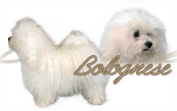 Bichon Bolonais
