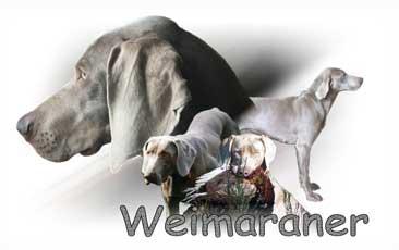 Braque De Weimar