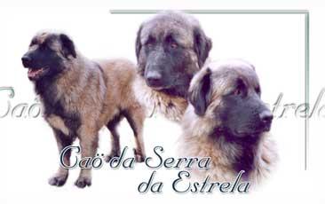 Cao Da Serra De Estrela