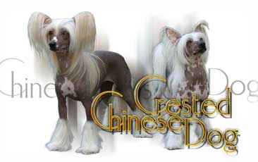 Chien Chinois