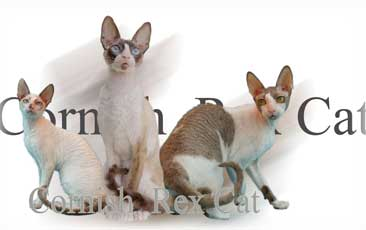 Cornish Rex Cat