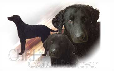 Curly Cooated Retriever