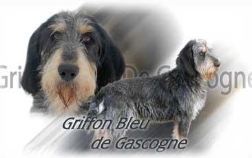 Griffon Bleu de Gascogne