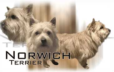 Norwish Terrier
