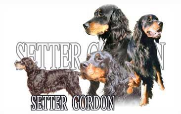 Setter Gordon