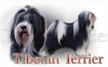 Terrier Du Tibet