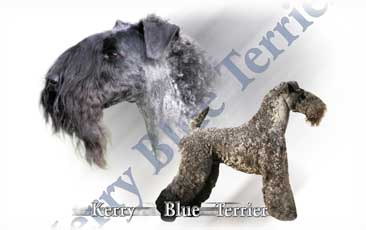 Terrier Kerry Blue