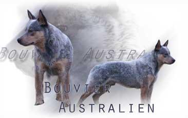 Bouvier Australien