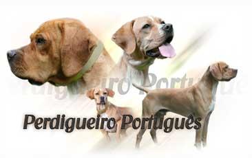 Braque Portuguais