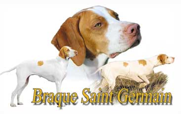 Braque Saint Germain