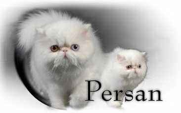 Chat Persan