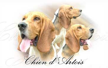 Chien Artois