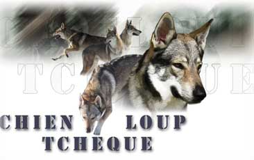 Chien Loup Tcheque