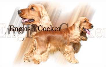 Cocker-Anglais