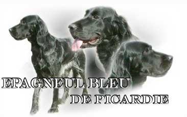 Epagneul Bleu De Picardie