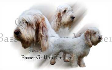 Grand Basset Griffon Vendeen