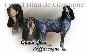 Grand Bleu De Gascogne
