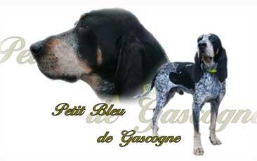Petit Bleu De Gascogne