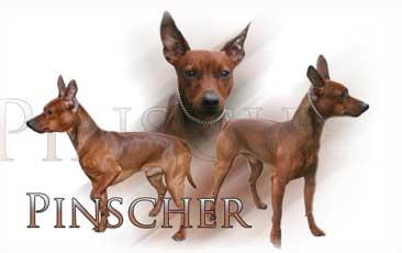 Pinsher Nain