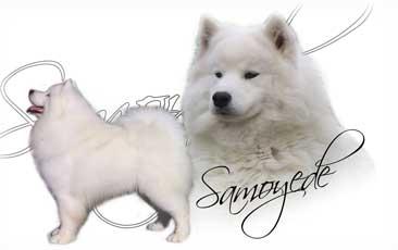 Samoyede