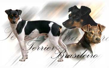 Terrier Bresilien