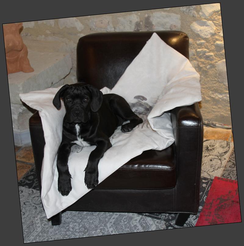 un chiot cane corso dans son coussin sur un canapé